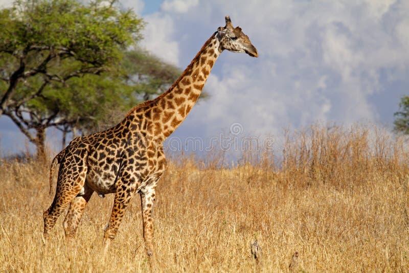 De girafmannetje van Masai, Serengeti, Tanzania royalty-vrije stock afbeeldingen