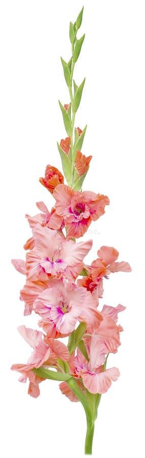 De gladiolen ontluiken roze stock afbeelding