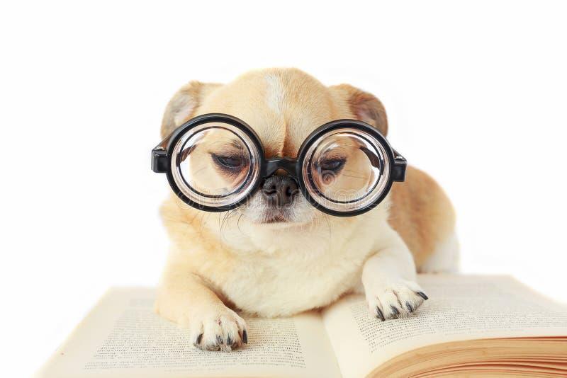 De glazen van de hondslijtage nerd royalty-vrije stock foto's