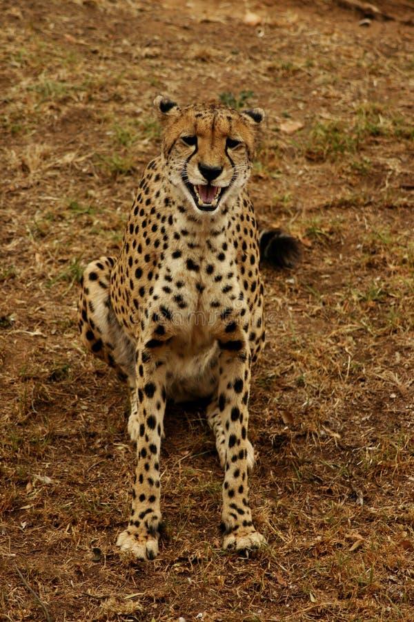 De Glimlach van de jachtluipaard royalty-vrije stock foto