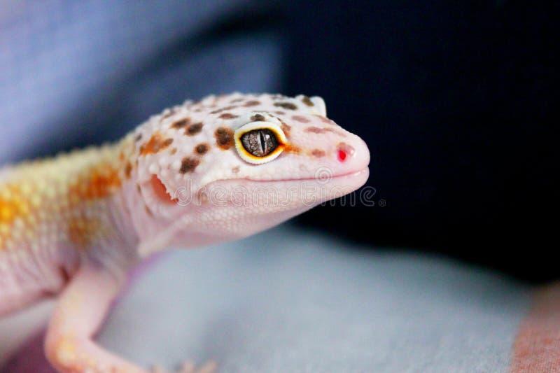 De Glimlach van Geco stock foto