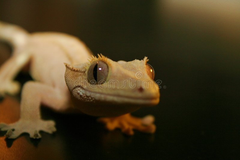 De Glimlachen van de gekko stock foto
