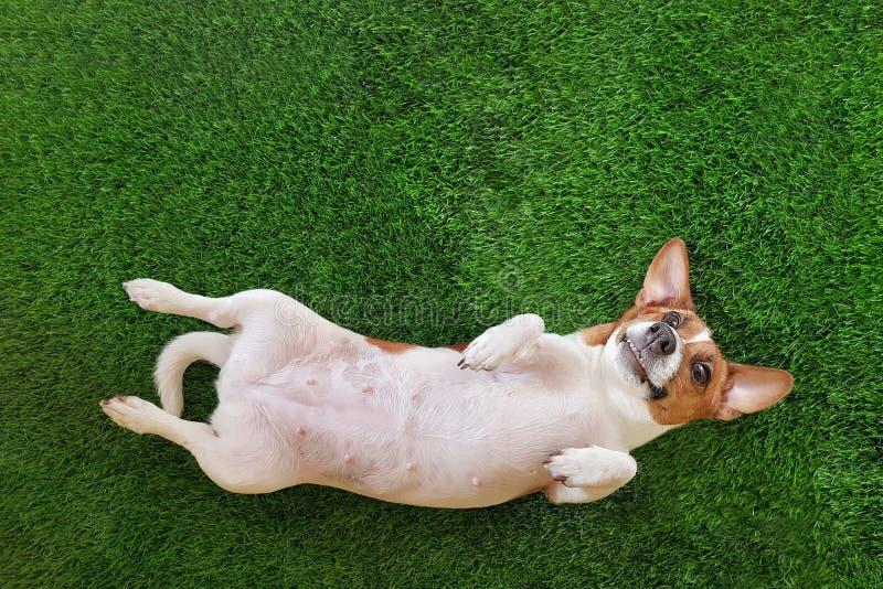 de glimlachende terriër van de hondhefboom russel, die op groen gras liggen royalty-vrije stock afbeelding
