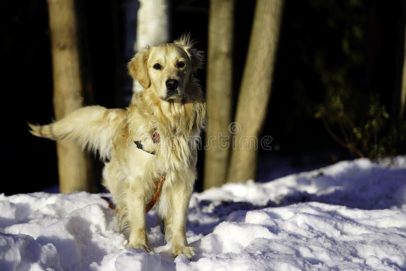De golden retriever in openlucht Winter stock foto's