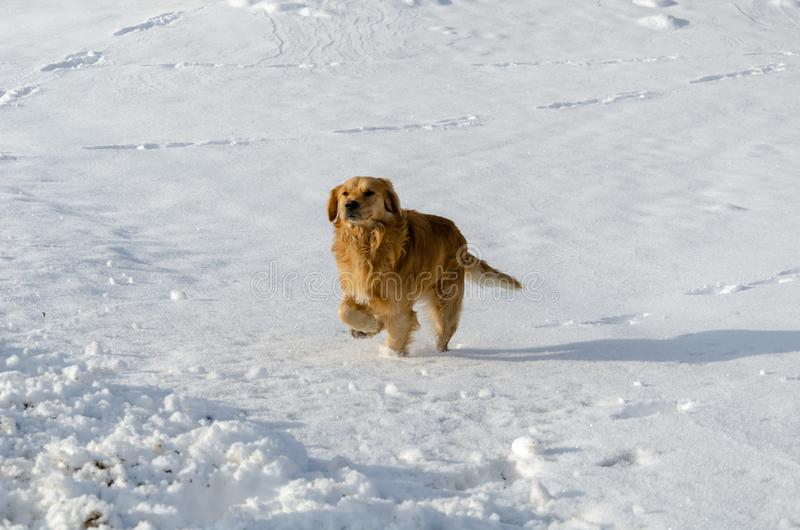 De golden retrieverhond loopt in de winter stock fotografie