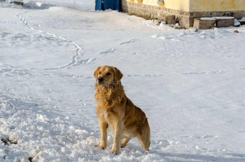 De golden retrieverhond zit op sneeuw in de winter stock fotografie