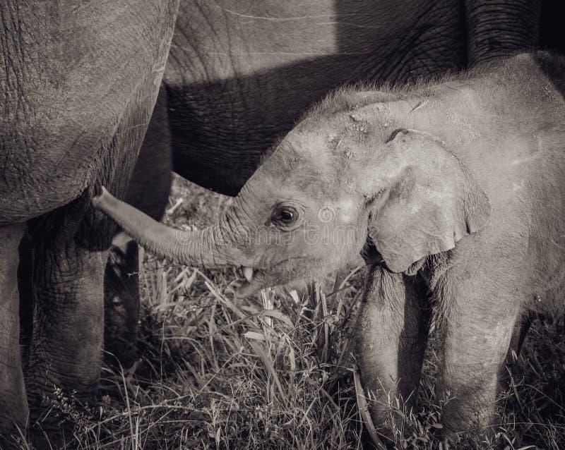 De golvende boomstam van de babyolifant stock afbeelding