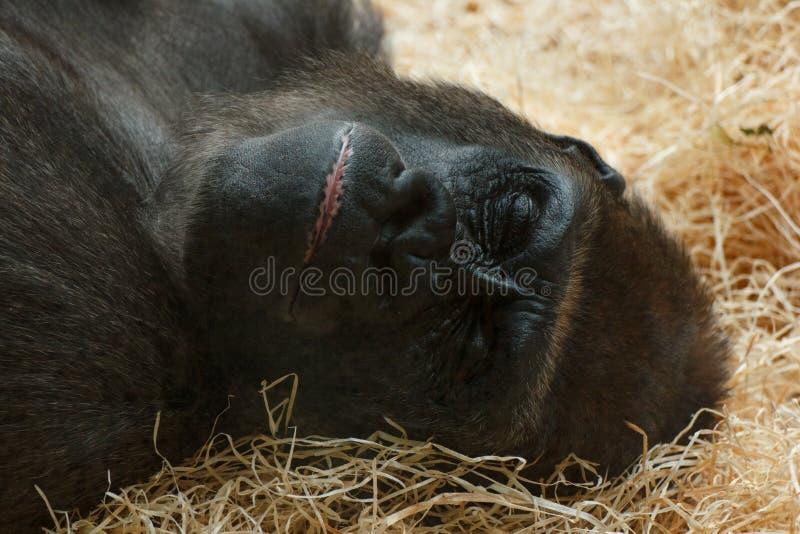 De gorilla stock foto's
