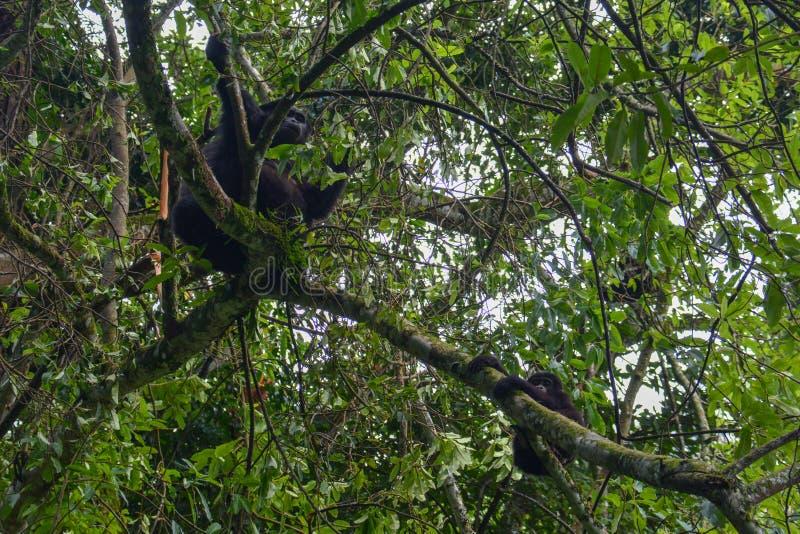 De gorilla die van de babyberg op boomtak worstelen te hangen terwijl het mamma onverschillig schijnt royalty-vrije stock afbeeldingen