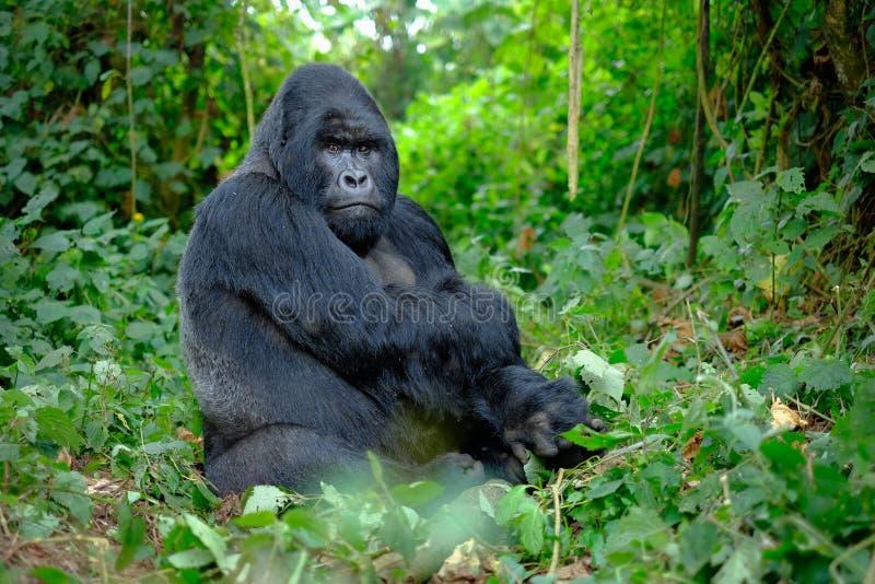 De gorilla die van de Silverbackberg vastbesloten in camera kijken stock afbeeldingen