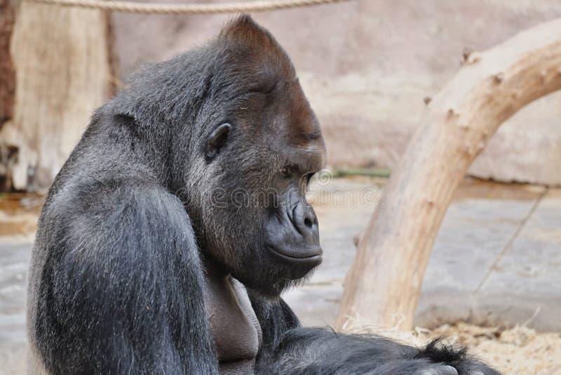 De gorilla in het aapkinderdagverblijf royalty-vrije stock foto