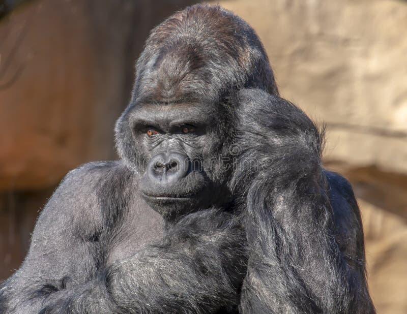De gorilla kijkt als hij spreekt op telefoon royalty-vrije stock foto's