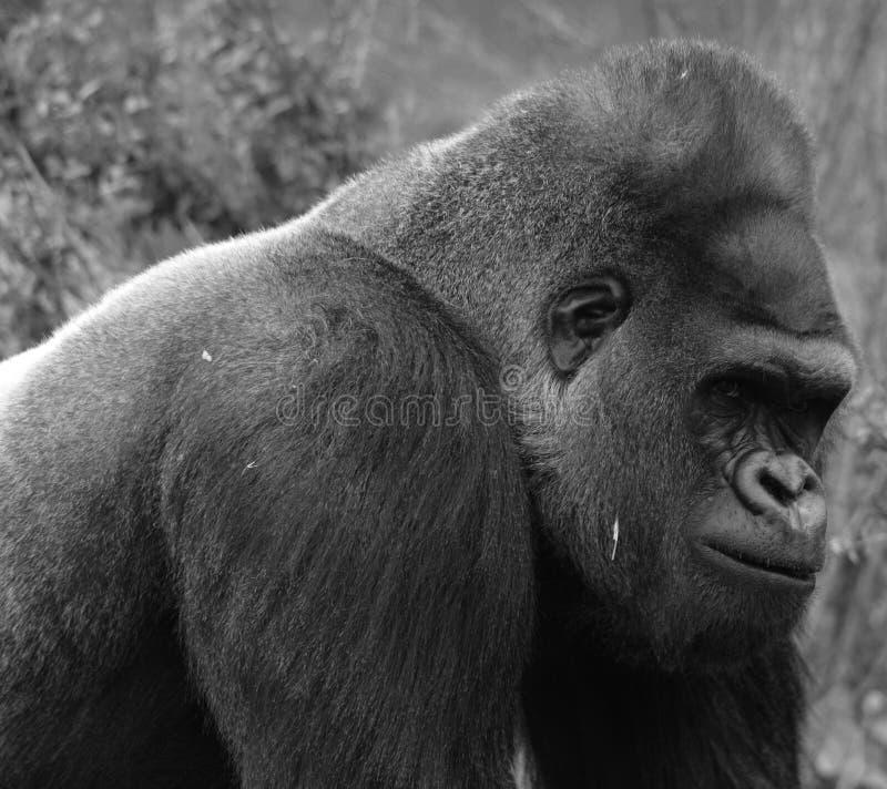 De gorilla's grond-blijven stilstaan, hoofdzakelijk herbivoor apen royalty-vrije stock afbeeldingen
