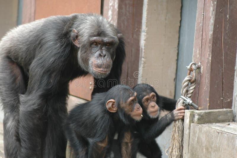 De gorilla's van deskundigen royalty-vrije stock foto