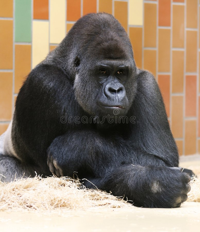 De Gorilla Van Silverback Het Denken Royalty-vrije Stock Afbeeldingen