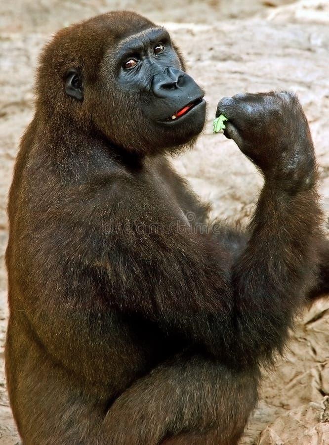 De gorilla ziet terug eruit stock foto