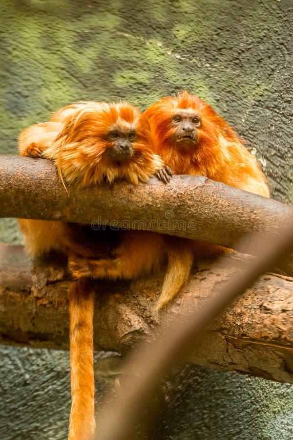 De gouden apen van leeuwtamarin royalty-vrije stock fotografie