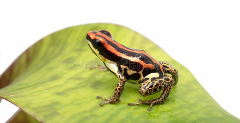 De gouden benen van Ranitomeyauakarii stock foto