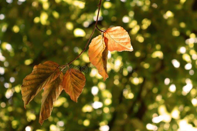 De gouden bladeren van de Beukboom in de Herfst/Daling stock afbeeldingen