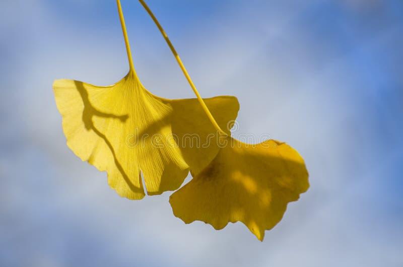 De Gouden Bladeren van Ginkgobiloba stock foto's