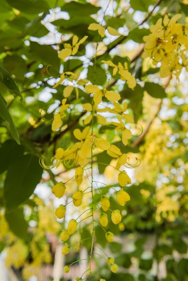 De gouden bloem van Cassia Fistula in de tuin stock afbeelding