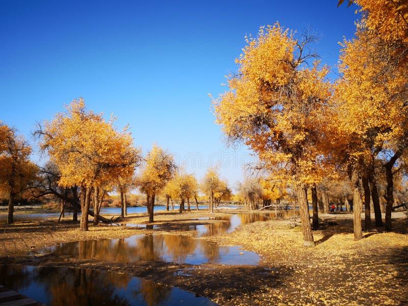 De gouden Bomen van de Populier stock foto