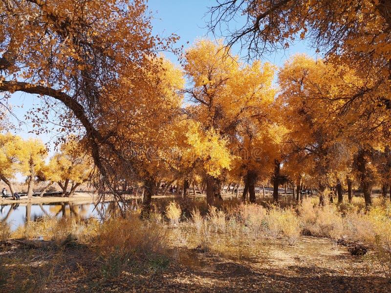 De gouden Bomen van de Populier royalty-vrije stock foto's