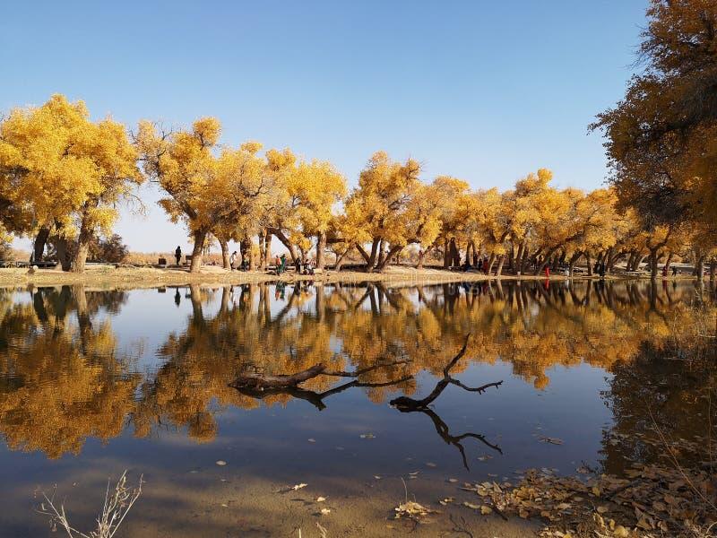 De gouden Bomen van de Populier royalty-vrije stock afbeelding