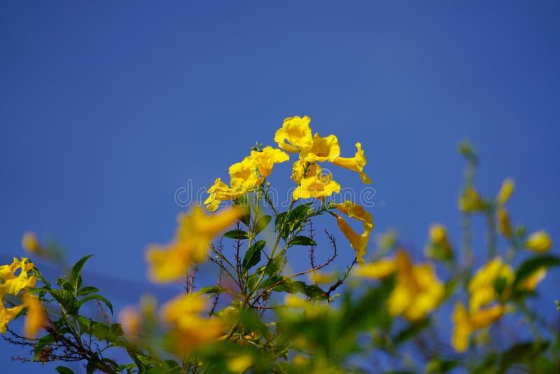 De gouden boom van de trompetbloem en groene bladeren op blauwe hemelachtergrond in zonnige dag stock fotografie