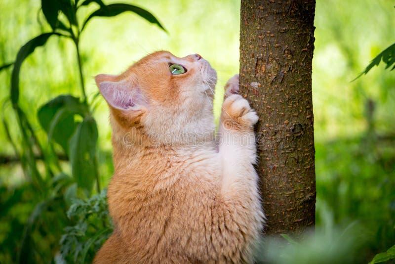 De gouden Britse kat met groene ogen scherpt zijn klauwen op de boomboomstam royalty-vrije stock foto's