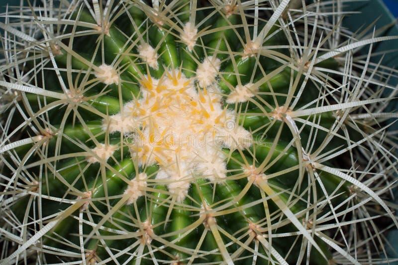 De gouden Close-up van de Vatcactus royalty-vrije stock fotografie