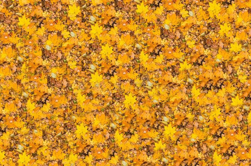 De gouden heldere gevallen van esdoornbladeren herfst als achtergrond stock foto