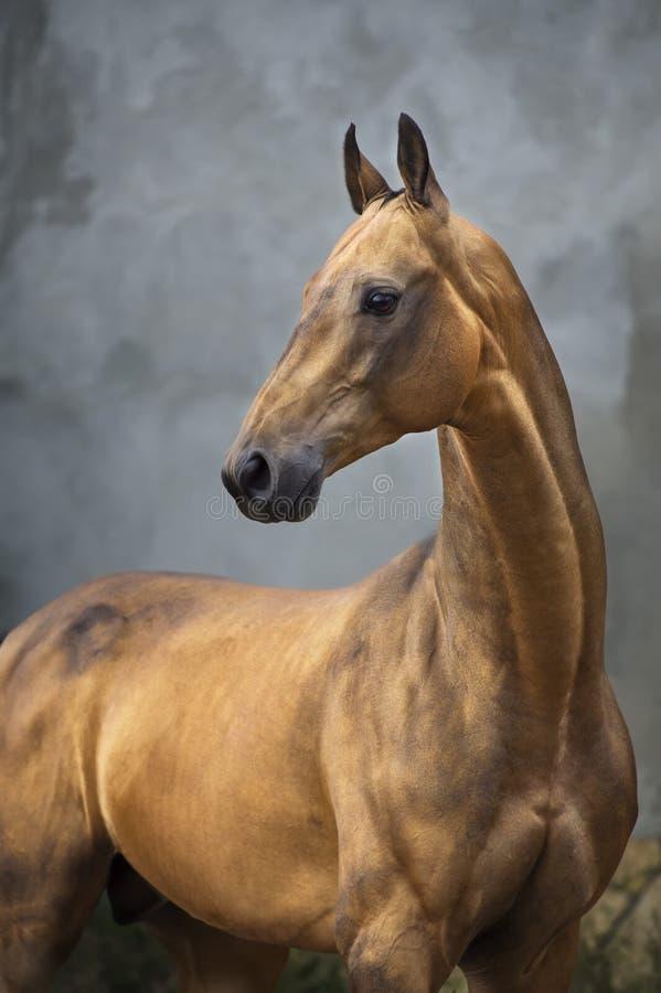 De gouden hengst van het baai akhal-teke paard op de grijze muurachtergrond stock foto's