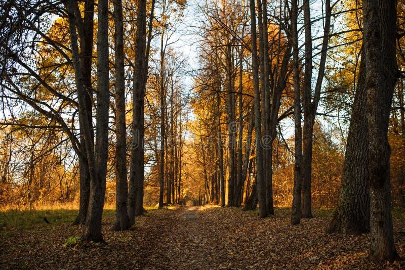 De gouden herfst, gele bomen in zonlicht, underfoot bladeren royalty-vrije stock afbeelding