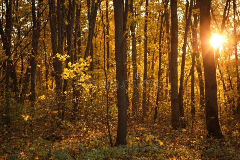 De gouden herfst, gele bomen in zonlicht, underfoot bladeren stock afbeelding