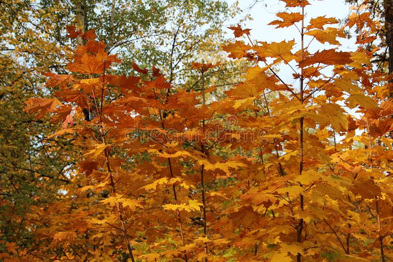 De gouden herfst in het bos stock afbeeldingen