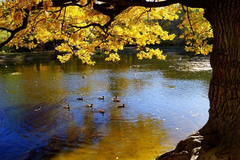 De gouden de herfsteik door het meer, wilde eenden zwemt in het water royalty-vrije stock foto