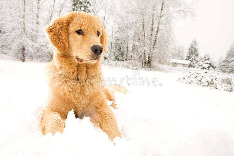 De gouden Hond die van de Retriever in de sneeuw legt stock foto's