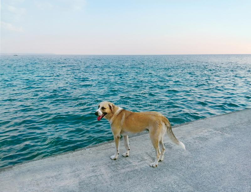 De gouden hond op een concrete pijler dichtbij het turkooise kalme overzees kijkt en wacht op de eigenaar stock foto