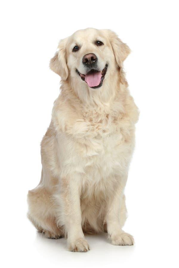 De gouden hond van de Retriever royalty-vrije stock foto