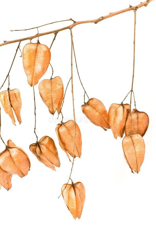 De gouden peulen van het de boomzaad van de Regen (koelreuteriapaniculata) stock afbeelding