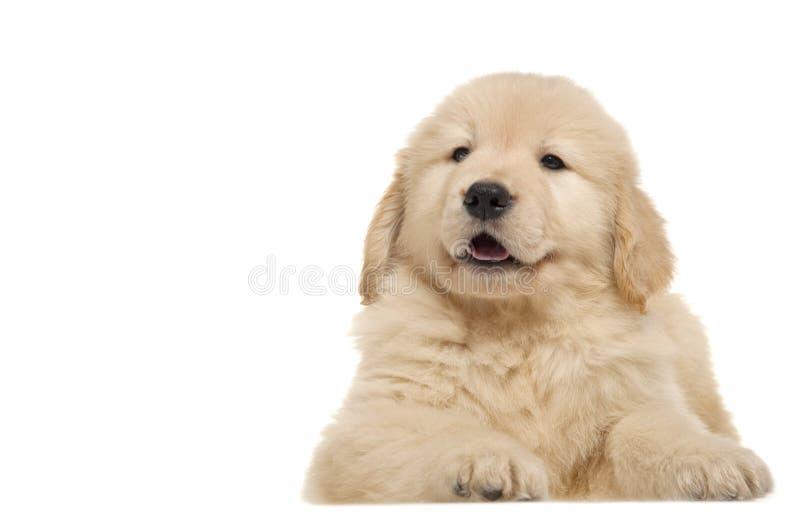 De Gouden Retriever van het huisdier van de hond stock afbeeldingen