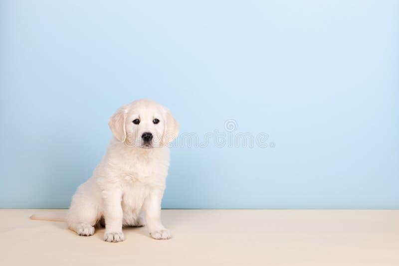 De gouden retriever van het puppy royalty-vrije stock afbeelding