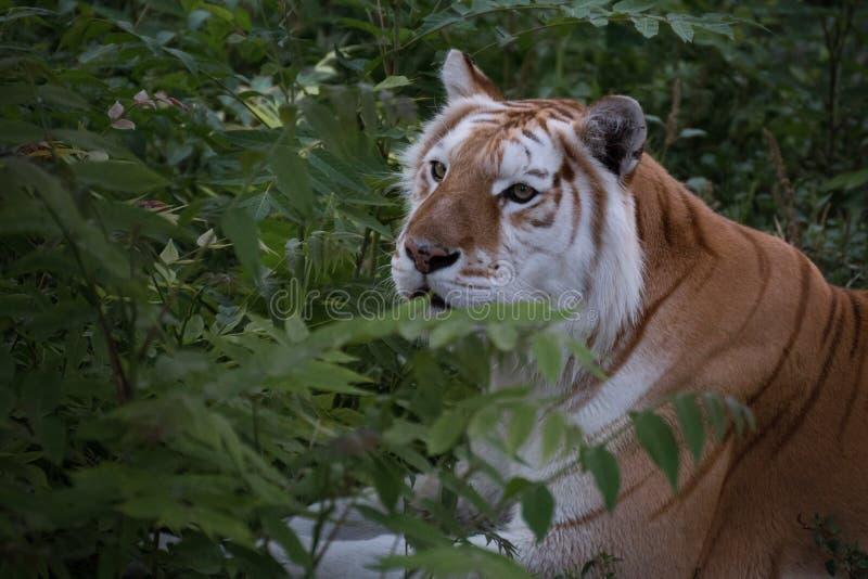 De gouden Tijger van Bengalen met depigmentation, witte tijger royalty-vrije stock foto