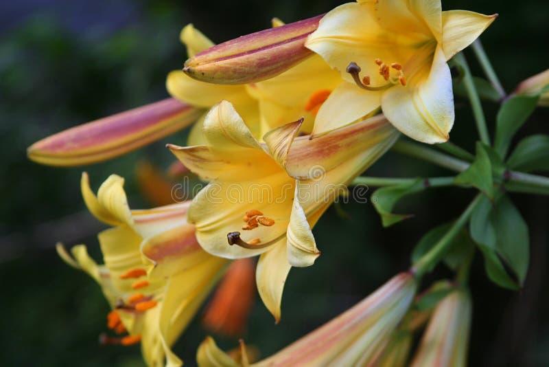 De gouden Trompetlelies openen een symfonie van kleur stock foto's