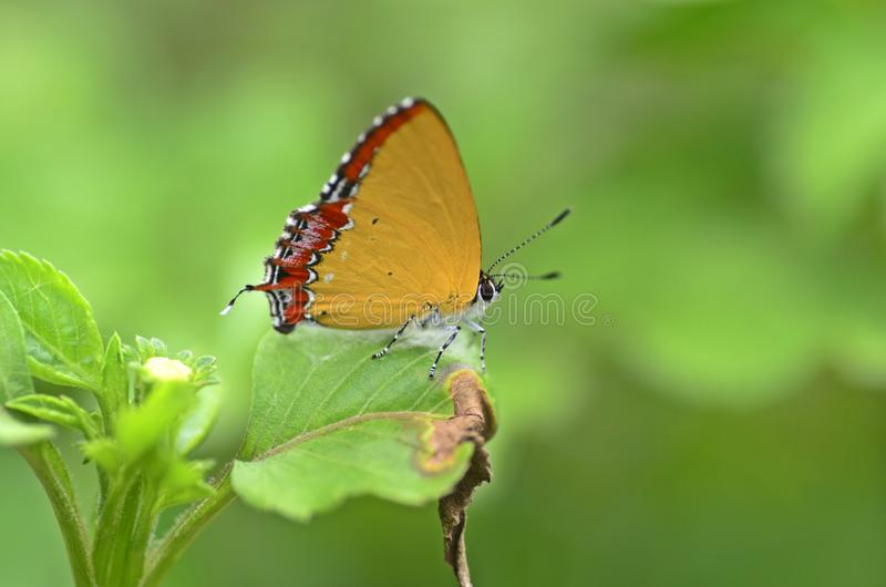 De gouden vlinder van de Saffier royalty-vrije stock foto