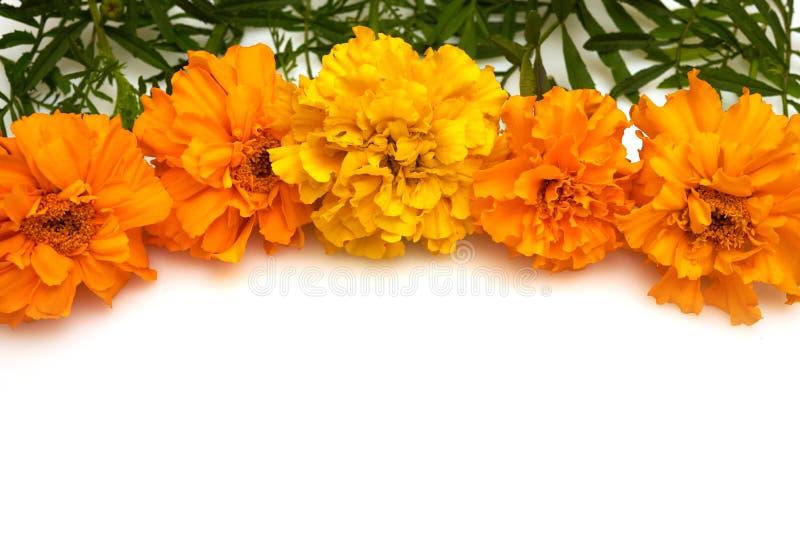 De goudsbloem van de herfstbloemen op een witte achtergrond stock afbeeldingen