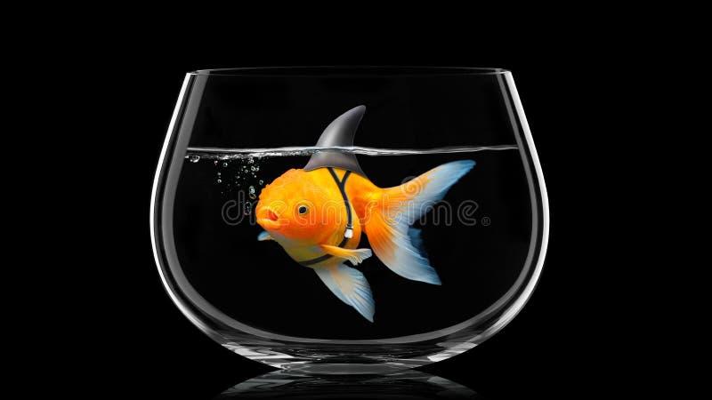 De goudvis met haaivin zwemt in vissen bolw, Gouden vissen in zwart water Gemengde media royalty-vrije stock afbeeldingen
