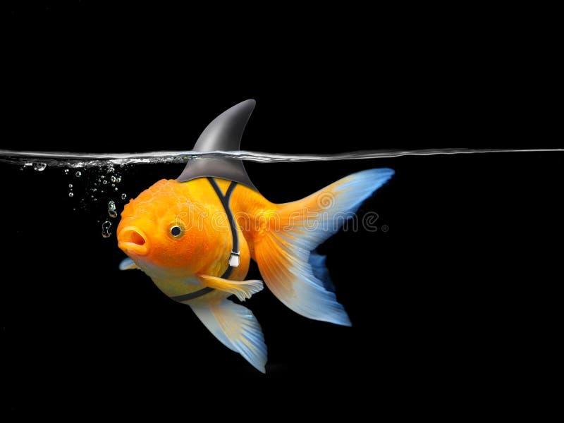 De goudvis met haaivin zwemt in zwart water, Gouden vissen met haaitik Gemengde media royalty-vrije stock afbeelding