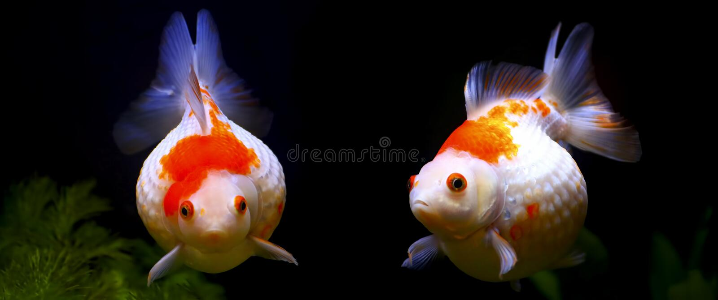 De goudvis van de Pearlscalegolfbal stock foto